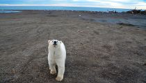 The Great Polar Bear 2